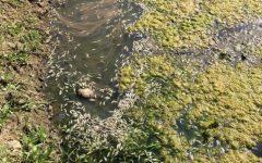 Denuncian a Empresas Carozzi por contaminación y muerte de peces en Región del Maule